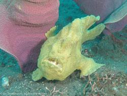 BD-080330-Lembeh-3302305-Antennarius-pictus-(Shaw.-1794)-[Painted-frogfish].jpg